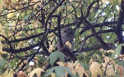 A barred owl makes a suprise visit to Belltown.