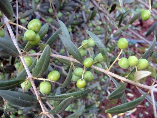 Paul Durant has heard the skeptics but is determined to make Oregon's Willamette Valley fertile ground for olives like it is for wine grapes.