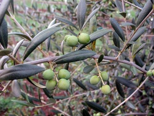 Paul Durant's olive farm has faced challenges but he just finished pressing more 2,000 pounds of olives, nearly double last year's harvest.