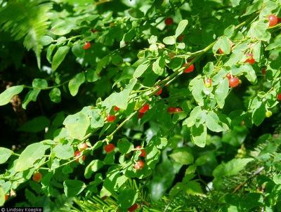 Red Huckleberry (Vaccinium parvifolium)