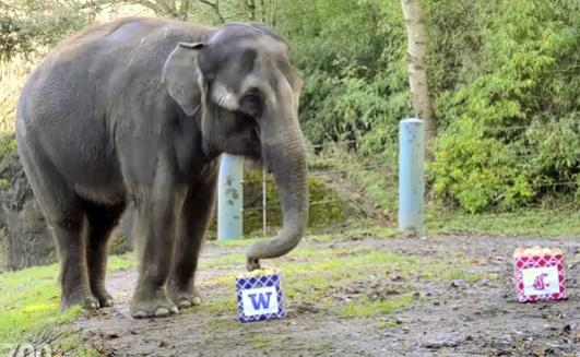 Predicting the Apple Cup winner was easy for Chai the Elephant. The Woodland Park Zoo's lead sports authority enjoyed the apples in the UW box, rejecting WSU's. Coug fans take heart: Art Thiel predicts your on the eve of an upset.