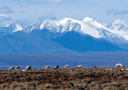 Caribou feed in Alaska's Arctic National Wildlife Refuge, or ANWR. The terrain is likely to become a political hot topic once again, as the new Republican chair of the House Natural Resources committee says ANWR should be opened to oil and gas exploration