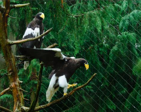 "A pair of ""Seahawks""--actually Stellers's Sea Eagles have arrived at Seattle's Woodland Park Zoo."