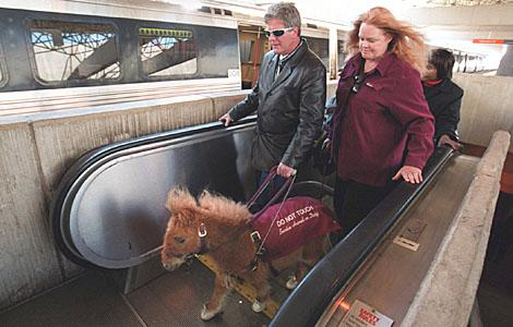 Miniature horses can be trained to assist people who are blind.  The Guide Horse Program says the animals perform many of the tasks seeing-eye dogs do.
