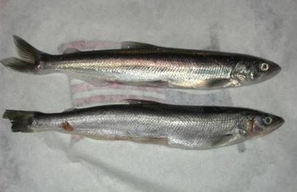 This photo provided by the Oregon Department of Fish and Wildlife Tuesday, March 16, 2010 shows Pacific Smelt. The small silvery fish that was a staple of Northwest tribes when the Lewis and Clark expedition arrived, is getting federal protection.