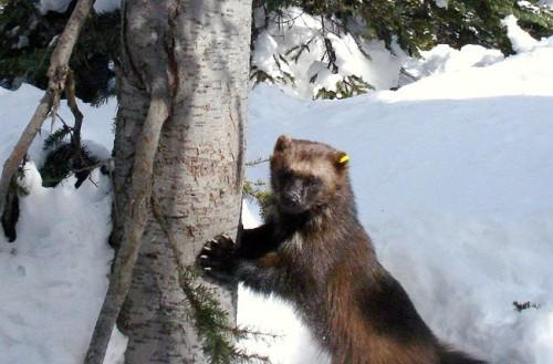 Remote camera photo of a wolverine from Okanogan National Forest. Click on the photo to scroll through other pictures of the