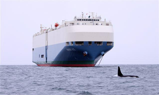 The last known photo of the killer whale known as J-1, foraging at Constance Bank near Victoria, B.C. on November 21, 2010.