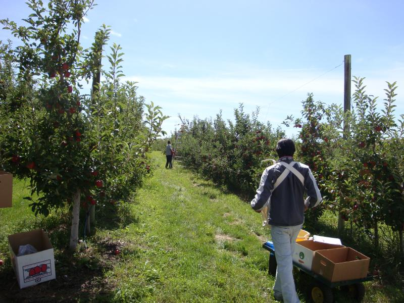 Picking organic Gala apples near Royal City.