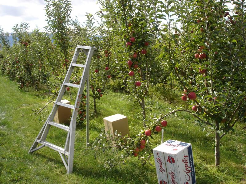 The number of organic farms in Washington, such as this 3 year-old orchard in East Wenatchee, have declined in the past year, according to a new study from WSU.