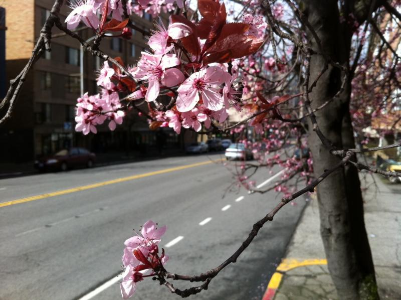 The organizers of Seattle's Cherry Blossom Festival say this year's festival will inform attendees about recent events in Japan while still celebrating spring.