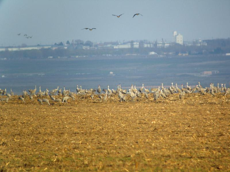 Sandhill cranes make a stop in the Othello area of eastern Washington, in March 2010. The sandhills have returned, as they continue their migratory journey north.