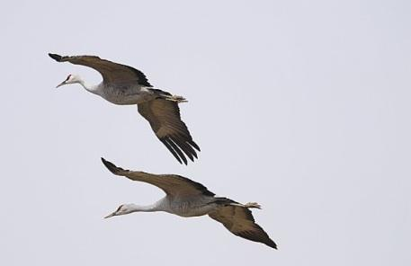 Sandhill cranes in flight above the fields and reservoirs near Othello, in eastern Washington.