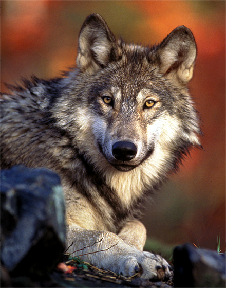 A provision of the compromise budget deal in Congress would take the gray wolf off the endangered species list.