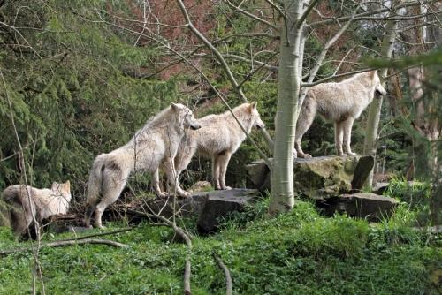 Yearling wolves in Woodland Park's Northern Trail exhibit
