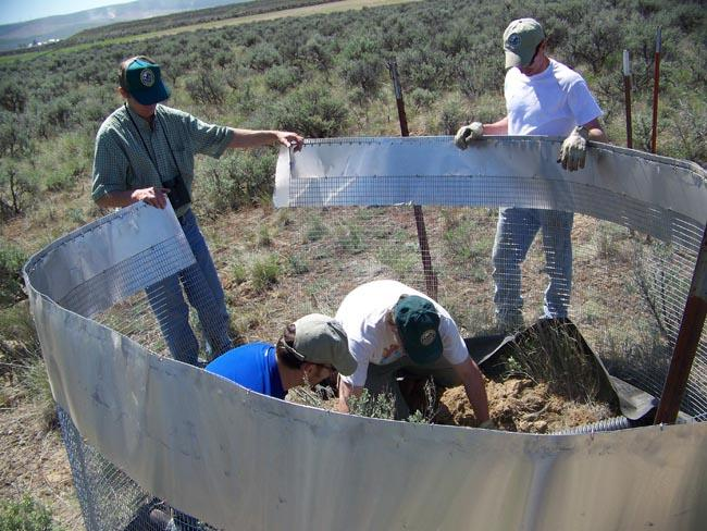 Fish and wildlife agents work to construct a temporary enclosure for pygmy rabbits on Sagebrush Flats Wildlife Area north of Ephrata.