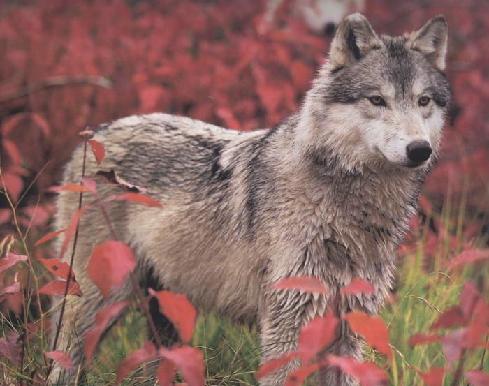 Some 5,500 gray wolves are being removed from federal protection in the Northern Rockies and Great Lakes. Fish and Wildlife Service officials also plan to review the animal's status in the Pacific Northwest and the desert Southwest. [UPDATE below]