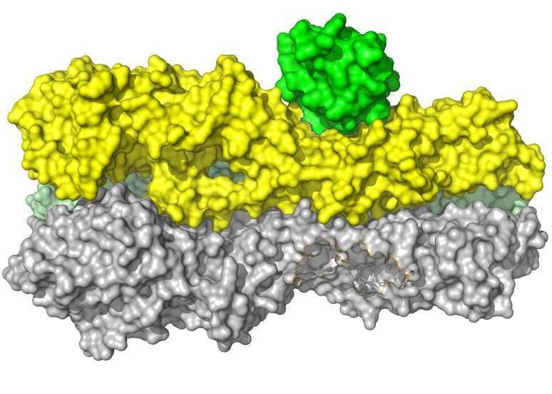 A bright-green engineered protein molecule is binding to a portion of the influenza virus (in yellow and gray), showing the complicated surface, with its crevices and bulges.