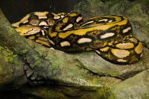 The Woodland Park Zoo's new reticulated python