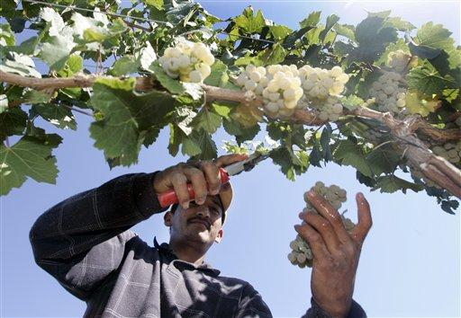 Carlos Valencia harvests riesling grapes on the farm of Mike Miller, near Prosser, Wash. File photo.