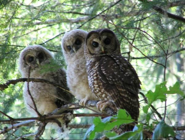 Threatened northern spotted owl adult with young (Strix occidentalis caurina.)
