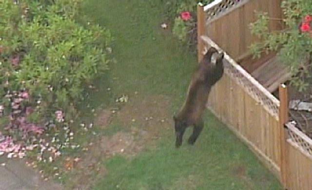 A black bear was shot and killed Monday morning by Lynnwood police after it ran through yards in a residential neighborhood.