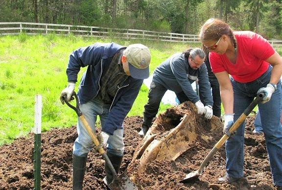 After being buried for six months under over 10 yards of horse manure, the gray whale bones, including the skull are excavated by a team of volunteers from Highline Community College's Marine Science and Technology Center.