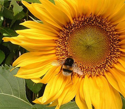 Bees love sunflowers.