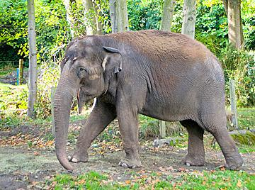 The Woodland Park Zoo is hoping to make Chai, the zoo's 32-year-old Asian elephant, pregnant.