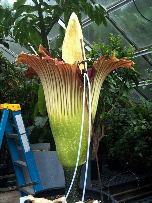 Thursday morning the UW Biology Dept.'s corpse flower was at peak bloom and expected to fade quickly.