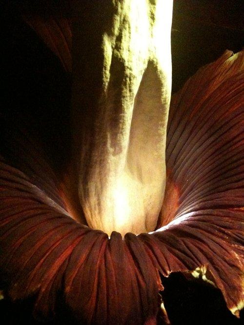 At 12:30 a.m. last night, the UW Biology Dept.'s corpse flower was nearly fully open and nearly at its peak smell. Waves of nausea reported by those around it.