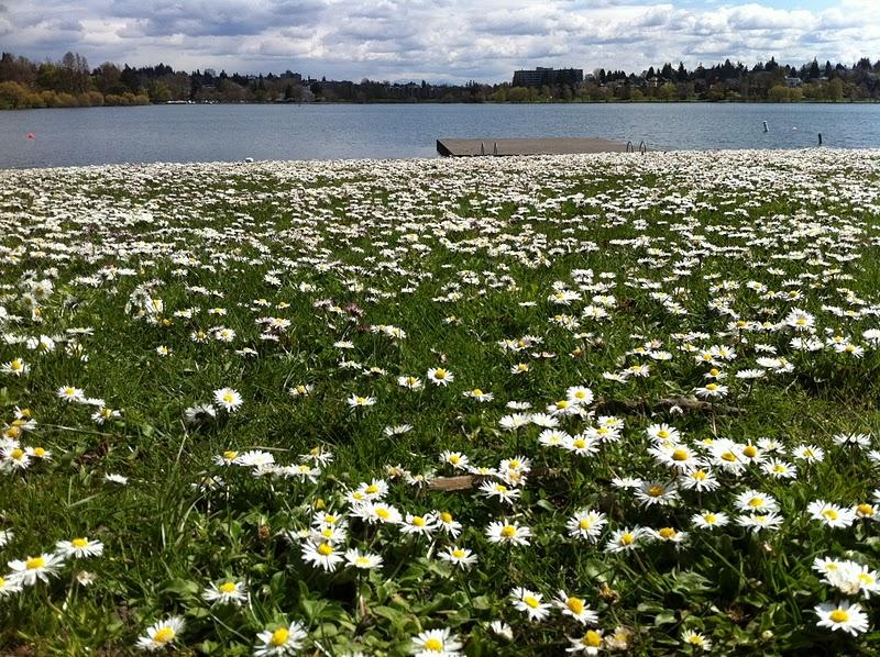 Daisies cover a patch of grassy shoreline on the west side of Seattle's Green Lake Park this spring. The weekend forecast calls for sunny skies and temperatures in the 70s.