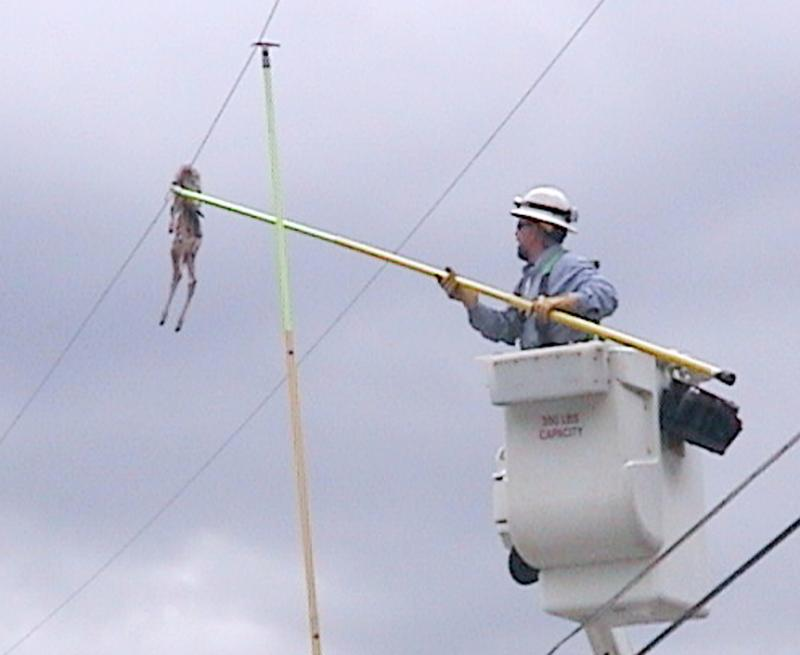 A power company lineman removes a young deer carcass that was dropped onto a power line possibly by an eagle in East Missoula, Mont. The incident caused a power outage.