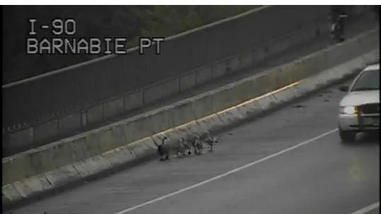 Goose and goslings on I-90 created a sensation.