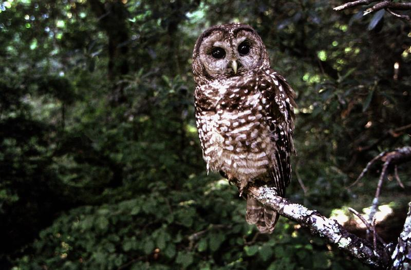 A new plan for saving the northern spotted owl was released this week.