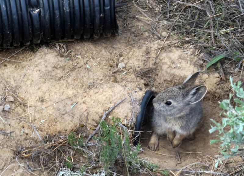 An endangered Columbia Basin pygmy rabbit emerges from an artificial burrow inside an enclosure sat the Sagebrush Flats reserve near Ephrata, Wash. Wildlife experts are making one last effort to save the endangered Columbia Basin pygmy rabbit.