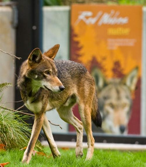 An endangered red wolf at Point Defiance Zoo.