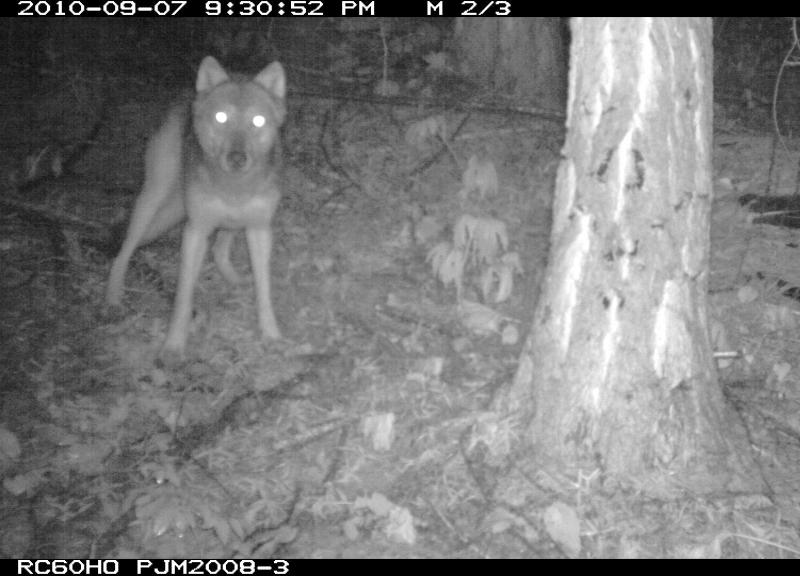 DNA tests confirm that a wolf captured on film by Conservation Northwest volunteers is part of a new wolf pack in the Teanaway area east of Seattle.