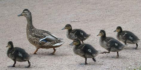 How accidents start: A woman helping ducks like these caused several accidents on I-5.