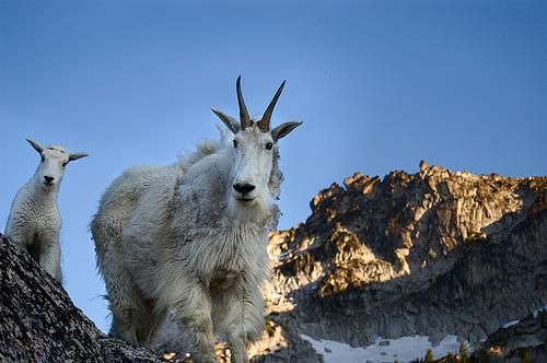 To protect hikers from goats, Olympic National Park officials are asking that you not pee on the trails.