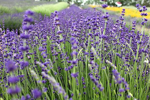 Among the things to do this weekend is Sequim's Lavender Festival.