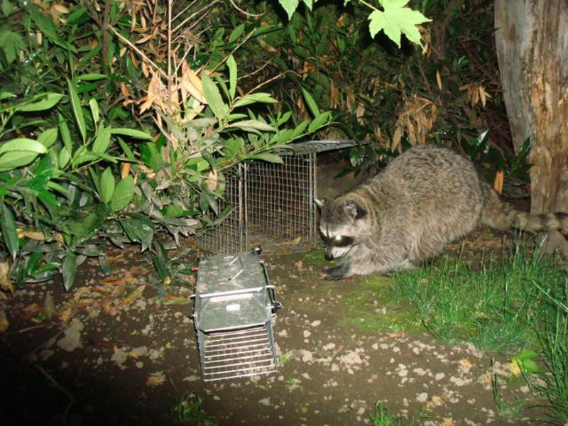 This undated photo provided by Leo Pauly shows a raccoon that park officials are certain is responsible for killing about two dozen birds at the Pioneer Park Aviary, in Walla Walla, Wash.