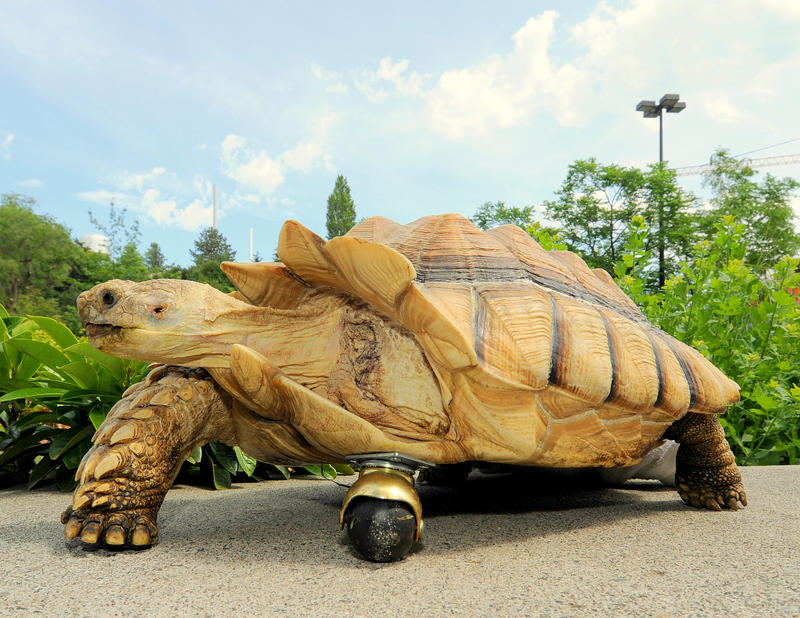 "Gamera, a 12-year-old African spur-thighed tortoise, shows off his new front ""leg"" at Washington State University in Pullman, Wash., on July 15."