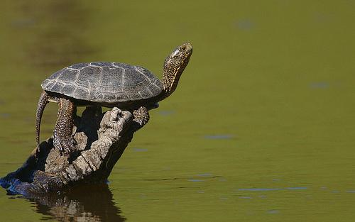 The Western pond turtle's presence is growing in Washington.