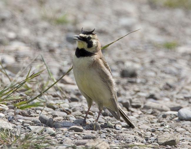 Male streaked horned lark.