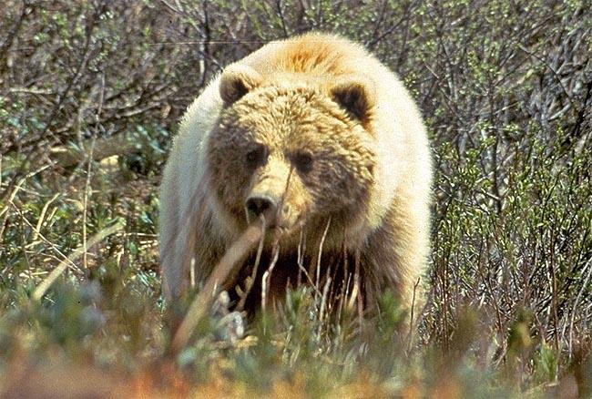 About 1,100 grizzlies live in the Lower 48.