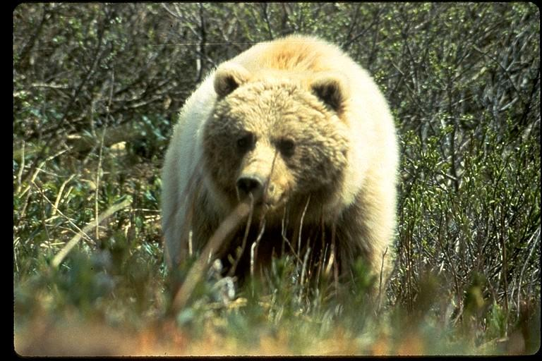 U.S. Fish and Wildlife Service file photo of a grizzly bear.