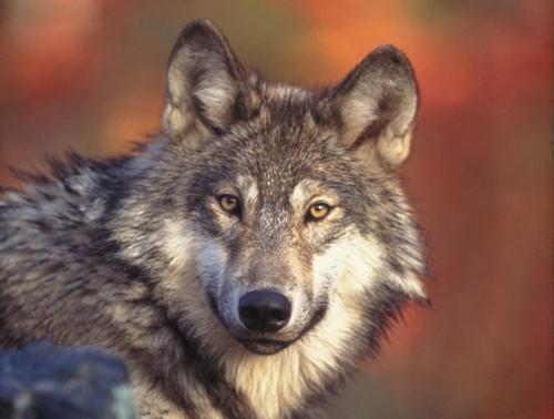 Western Gray Wolf