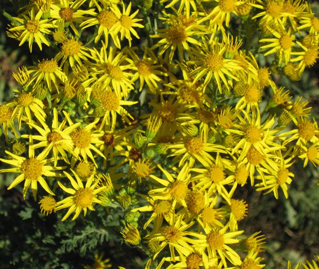Tansy ragwort, a member of the sunflower family native to Western Europe, is toxic to horses and cattle.