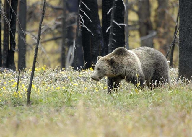 This U.S. Fish & Wildlife Service file photo shows a grizzly bear in a field at Yellowstone National Park.