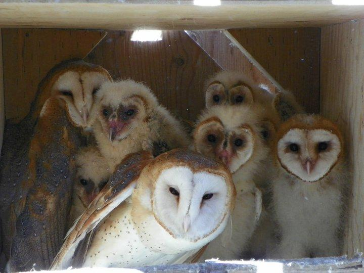 Several of the young barn owls photographed with barn owl mothers at the Northwest Raptor and Wildlife Center in Sequim.